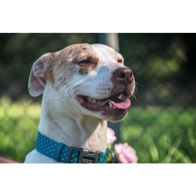 9c4f59522056 Khalissi - Medium Female Whippet Dog in NSW - PetRescue