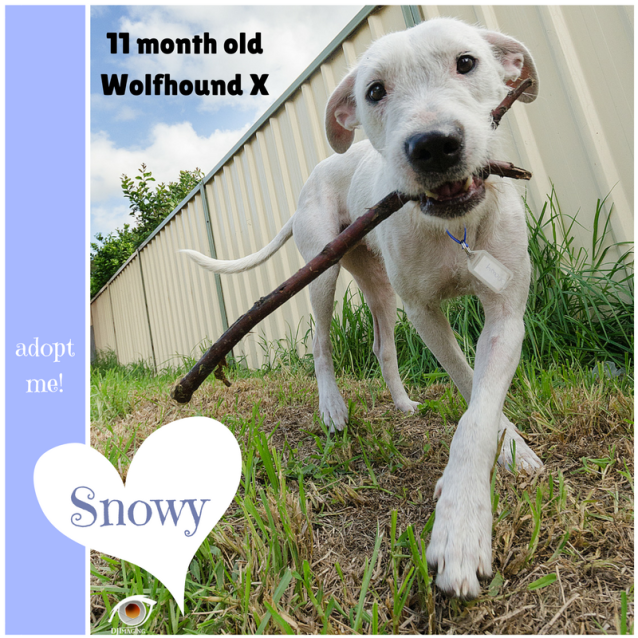 Photo of Snowy ~ 11 Month Old Wolfhound X