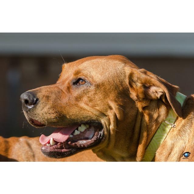 Photo of Bentley ~ Mastiff X Rottweiler (On Trial 25/5/18)