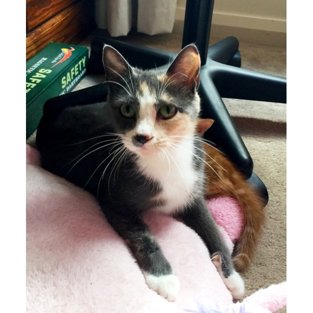 Photo of Mittens The Grey Calico Cat