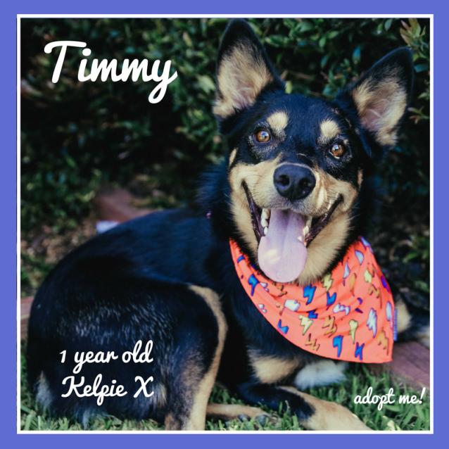 Photo of Timmy ~ 1 Year Old Kelpie X