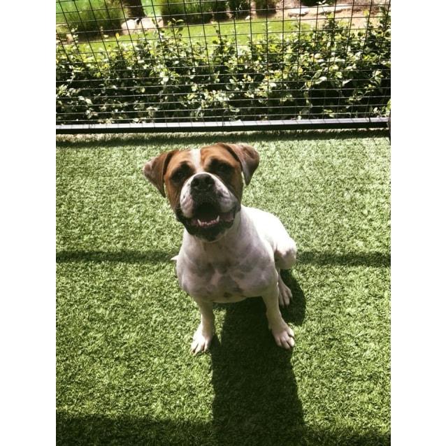 Photo of Sasha The Bulldog 2 Yo