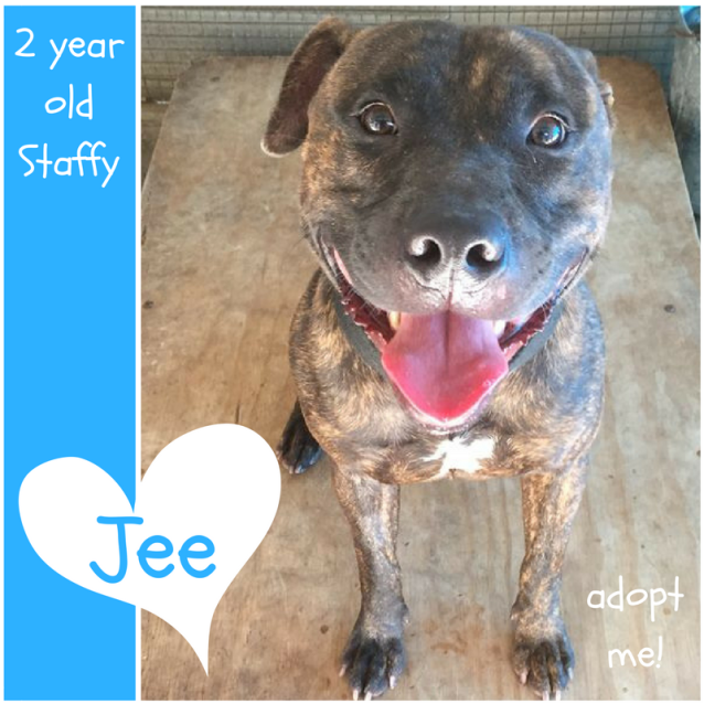 Photo of Jee ~ 2 Year Old Staffy (On Trial 19/5/2018)