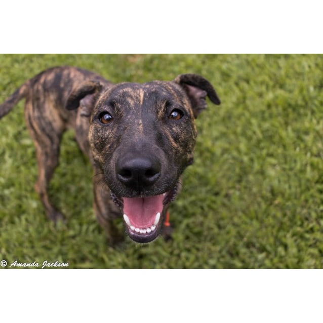 Photo of Malibu (Brindle)