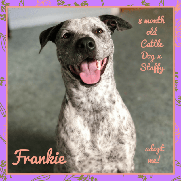 Photo of Frankie ~ 8 Month Old Cattle Dog X Staffy