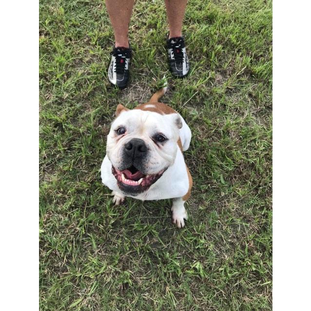 Photo of Molly The Bulldog