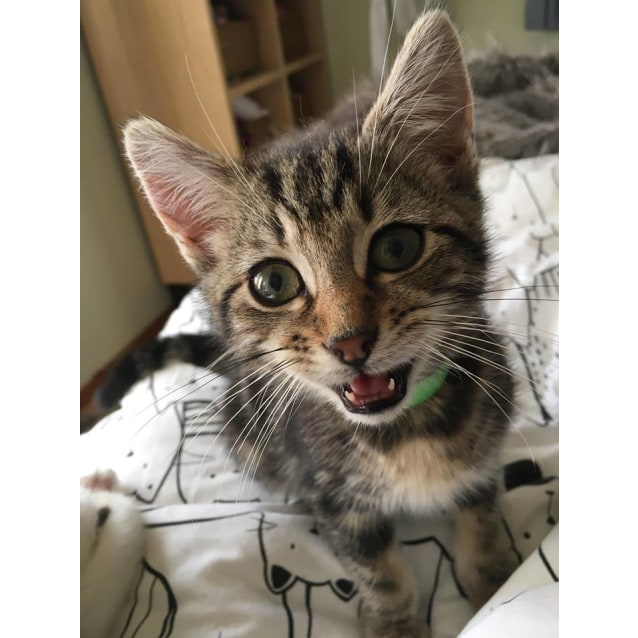 Photo of Steve **2nd Chance Cat Rescue**