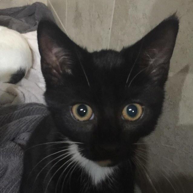 Photo of Hershey   Meet Me At Cat Lounge   Neko Hq Preston
