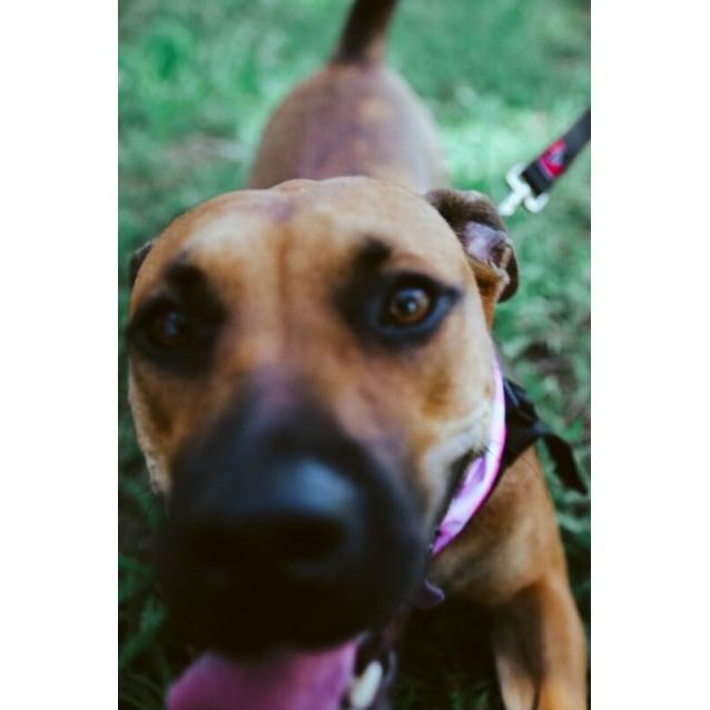 Photo of Cleo ~ 1 Year Old Mastiff X Ridgeback