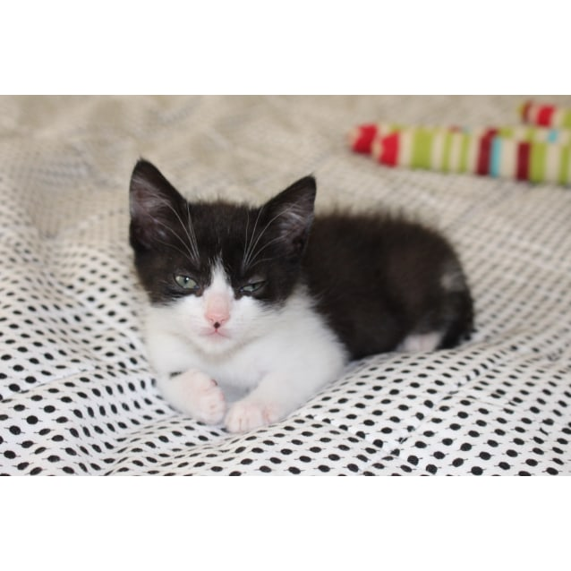 Photo of Kit Kat ~ Kitten (On Trial 19/7/2018)