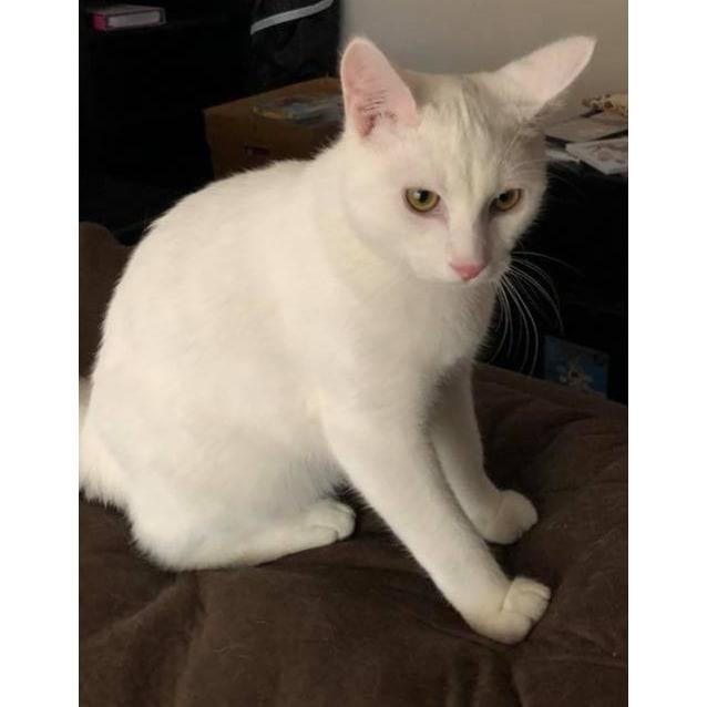 Photo of Kimba The White Lion Kitten!