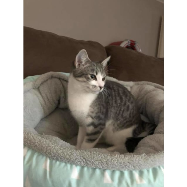 Photo of Stuart Little The Playful Grey Kitten!