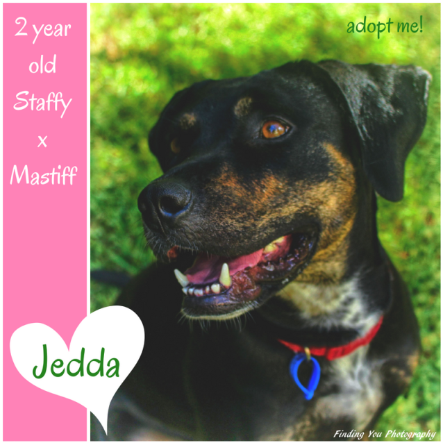 Photo of Jedda ~ 2 Year Old Staffy X Mastiff