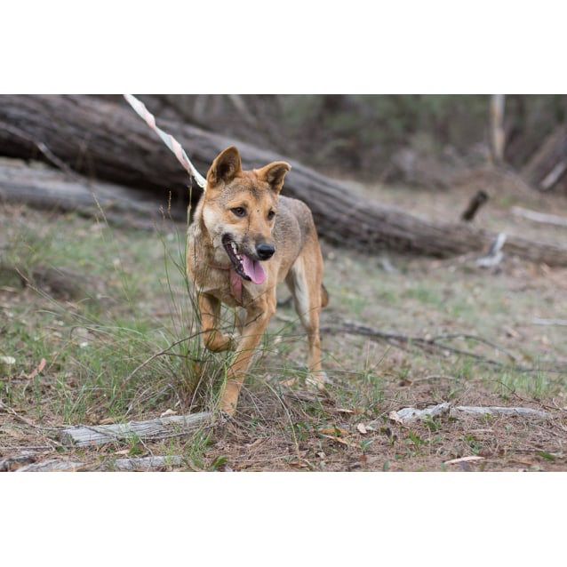 Photo of Holly   Dingo