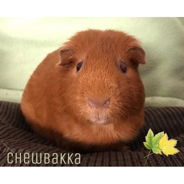 Photo of Chewbakka