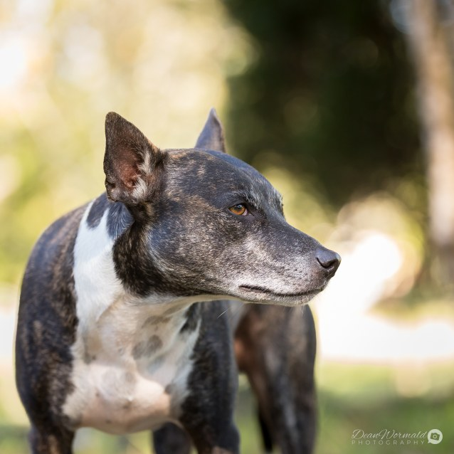 Photo of Bean ~ 4 Year Old Staffy X (Medical Hold)