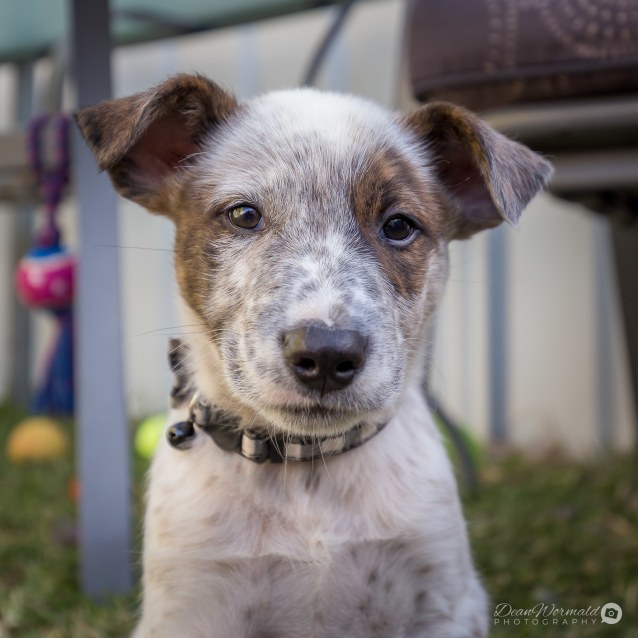Photo of Aztec ~ Cattle Dog X (On Trial 12/7/2018)