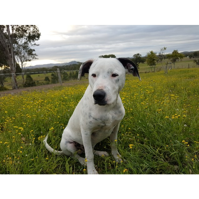 Photo of Buddy ~ Staffy X Labrador (On Trial 28/10/2018)