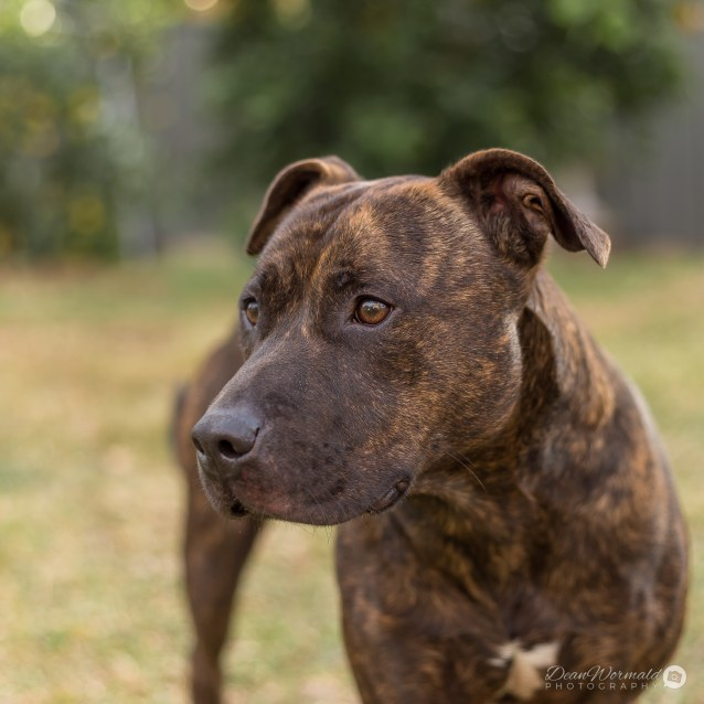 Photo of Jee ~ 2.5 Yr Old Staffy