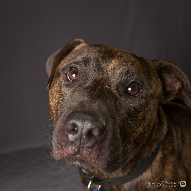 Photo of Jee ~ 2 Year Old Staffy