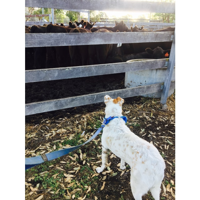 Photo of Gemma ~ Cattle Dog X (On Trial 24/7/18)