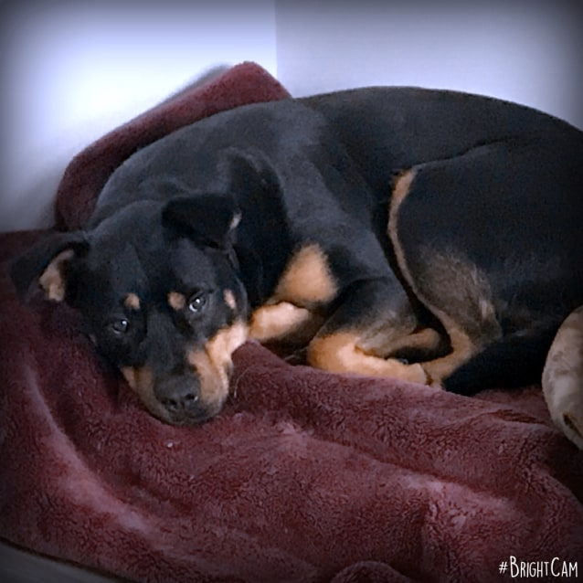 Maggie ** A Mini Rottweiler ** eoi's accepted - Medium