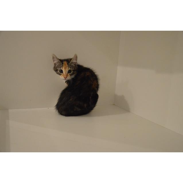 Photo of Kit Kat ~Rainbow Cat Rescue~