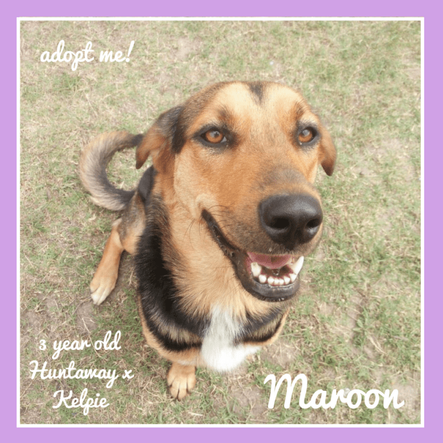 Photo of Maroon ~ Huntaway X Kelpie (On Trial 23/12/18)