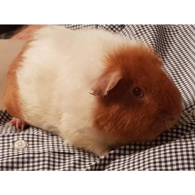 Photo of Percy  (Desexed)