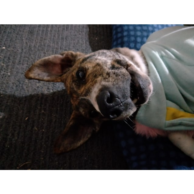 Photo of Tilly ~ Mastiff X (On Trial 22/7/2018)