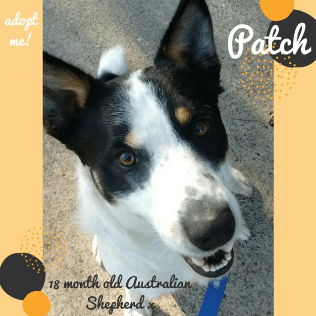 Photo of Patch ~ 18 Month Old Australian Shepherd X