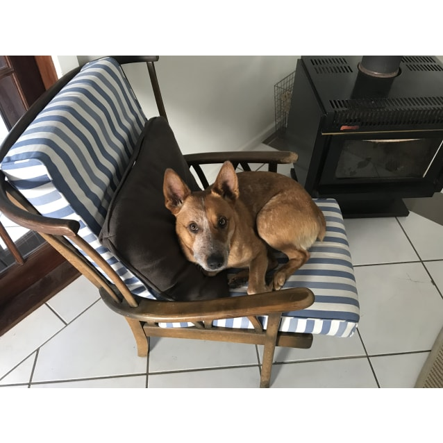 Photo of Benny ~ Red Cattle Dog (On Trial 12/11/18)
