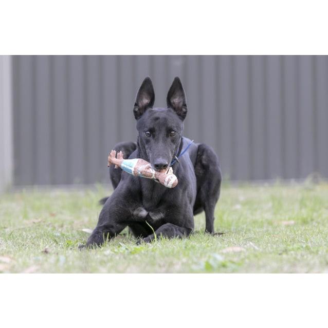Photo of Dingo