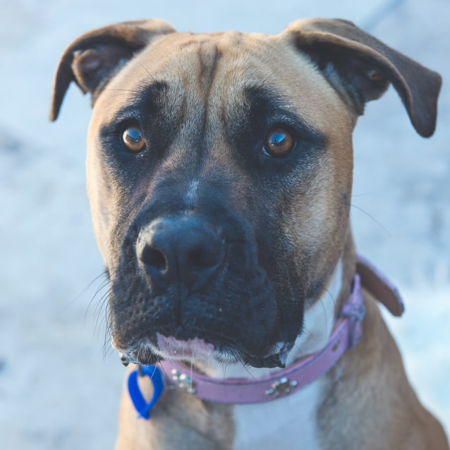 Photo of Luna ~ Boxer X (On Trial 10/8/18)