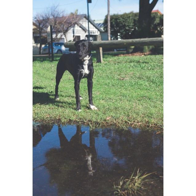 Photo of Tara ~ Kelpie X (Behavioral Hold)