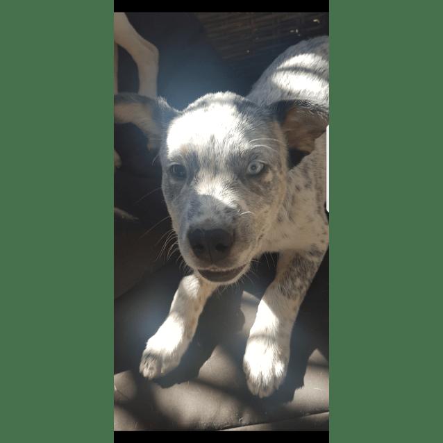 b91123c7fb1a Blu - Medium Male Australian Cattle Dog Mix Dog in NSW - PetRescue