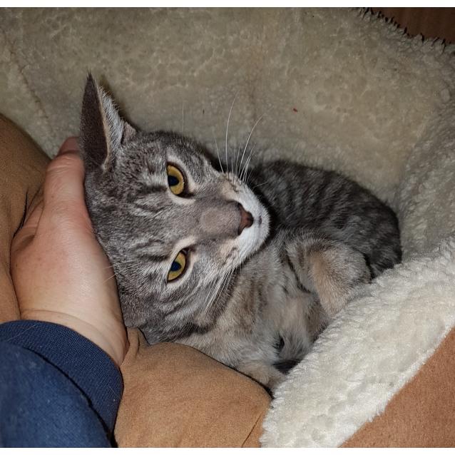 Photo of Teddy Kitty (Located In Ballarat)