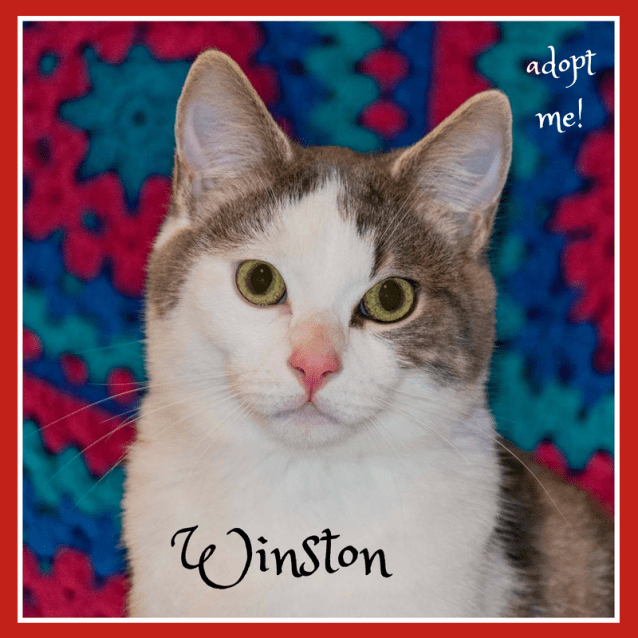 Photo of Winston ~ Kitten, 5months Old (On Trial 5/9/18)