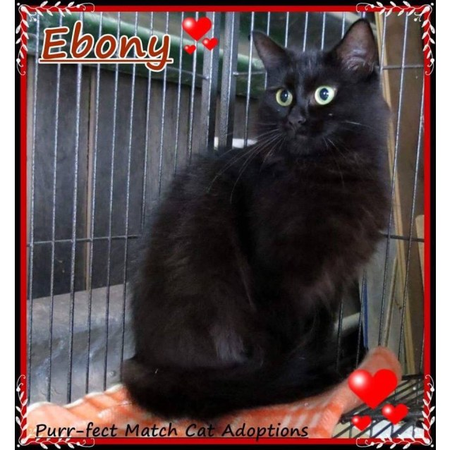 Photo of Ebony   Purrfect Match Cat Adoptions