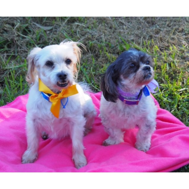 Photo of Diesel And Lucy   Maltese X Pair (On Trial 7/8/18)