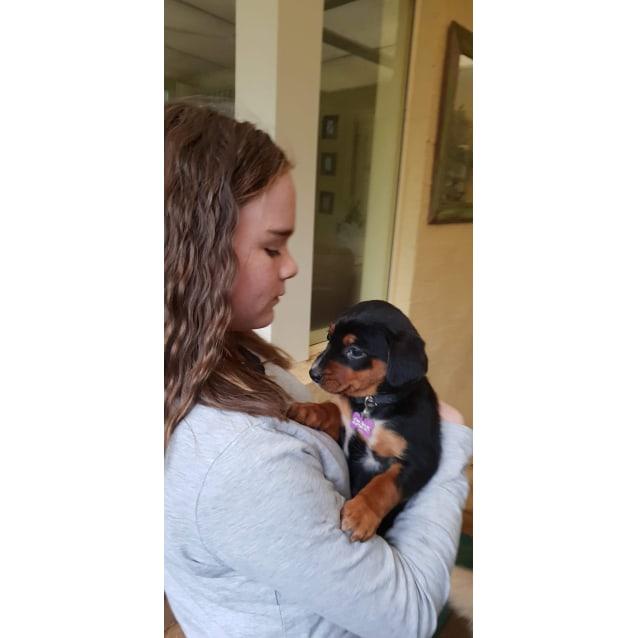 Photo of 7 Week Old Kelpie Puppies