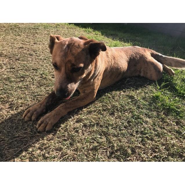Photo of Dax ~ Cattle Dog X Kelpie (On Trial 11/8/18)