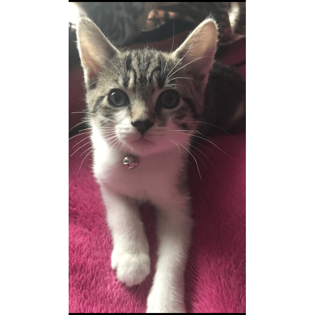 Photo of Stormi The Talented Tabby Kitten!