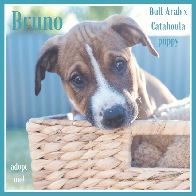 Photo of Bruno ~ Bull Arab X Catahoula (On Trial 18/9/18)
