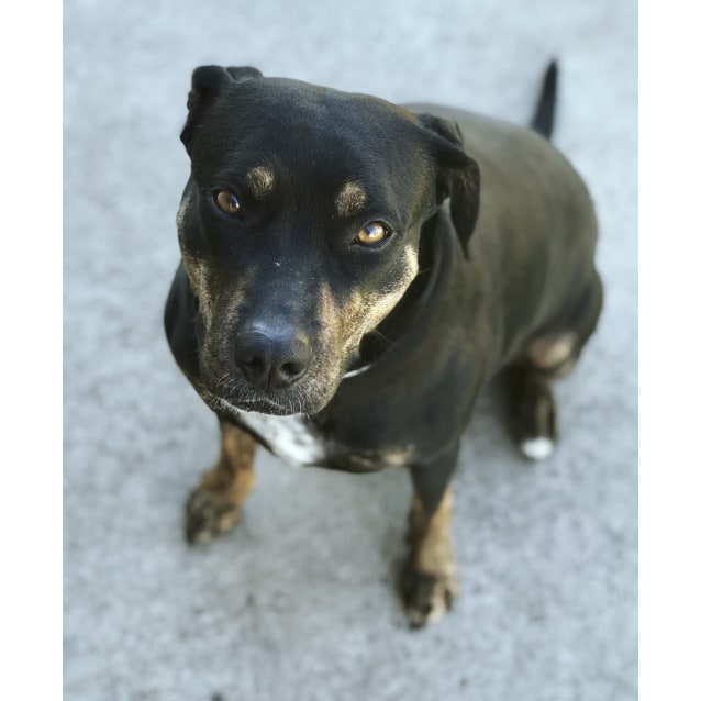 Photo of Jedda ~ Staffy X Mastiff (On Trial 12/8/18)
