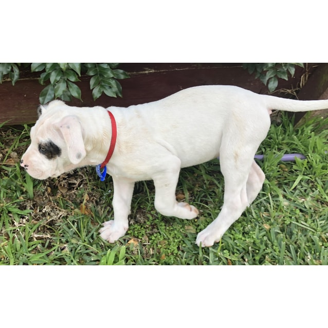 Photo of Charlie  ~ Cuddly Mastiff X Puppy