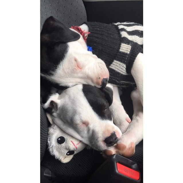 Photo of Valerie ~ Arab X Catahoula (On Trial 15/10/18)