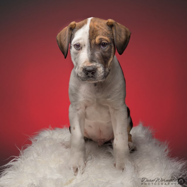 Photo of Max ~ Sweet Bull Arab X Catahoula Puppy