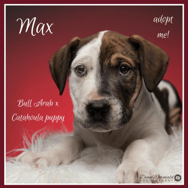 Photo of Max ~ Bull Arab X Catahoula (On Trial 29/9/18)