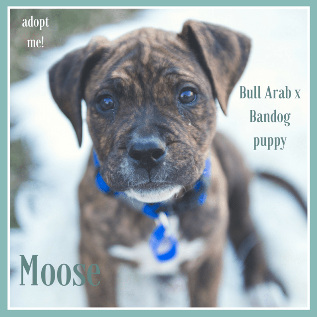 Photo of Moose ~ Bull Arab X Bandog (On Trial 30/9/18)